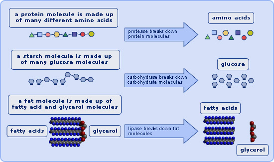enzymes_digestion