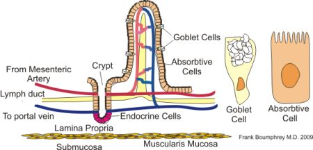 villi and microvillus