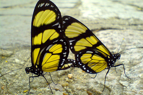 butterflies_mating