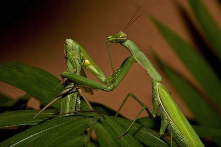 praying_mantids