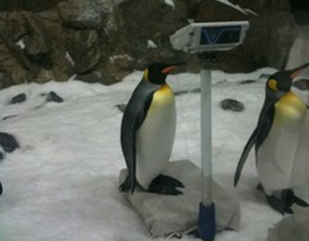 Emporer penguin on scales