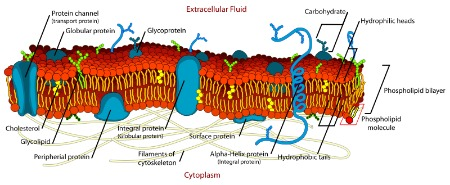 450xCell_membrane_detailed_diagram_en_svg