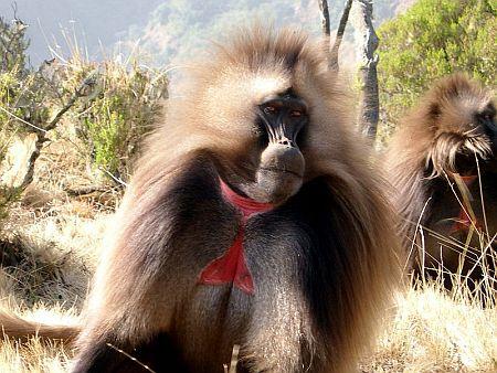 gelada_monkey