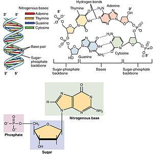 DNA_Nucleotides