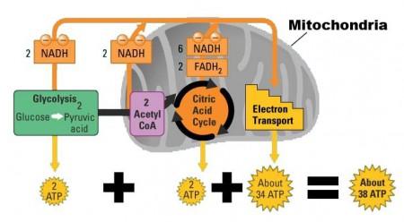 mitochondria_respiration