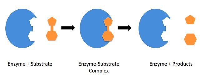 Enzyme_mechanism_1